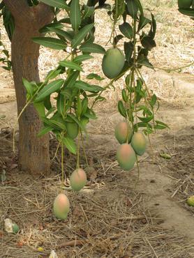 Faire Mangos helfen PREDA.